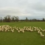 Farmer uses Drone to herd his Sheep ( Video )